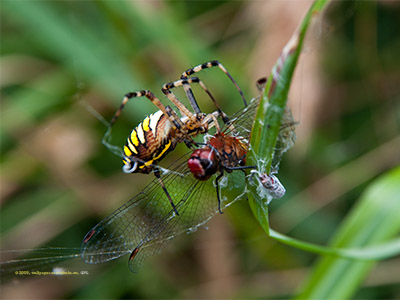Paj�k i wa�ka / Spider vs. dragonfly
