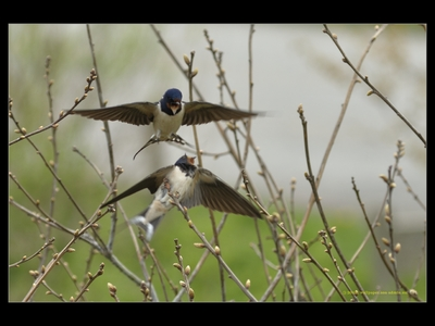 Jask�ki / Swallows